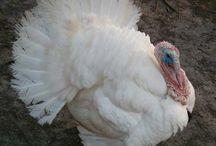Turkey's / by Dawn Dunham