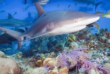 All Things Sharks and their relatives / by John Kottenbrook