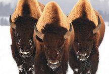 Buffalo's Love Them!!! / by Terry Falvey