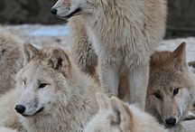 HoWLinG HeaRTs - Wolves / by Susan Whalley
