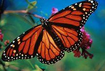 Butterflies, Moths & Dragonflies / Beautiful butterflies always lift my spirit and fill me with awe. / by Linda Broadhurst