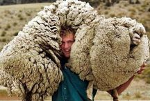 Sheep / by Kate Stahl