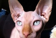 sphynx / by Cabaret Mariposa