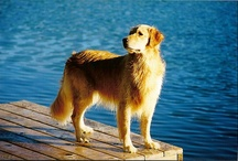 """For the love of goldens :) / """"When a dog wags his tail, it is connected to the heart"""" / by Jan Hunsche"""