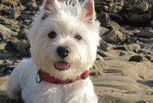 westie love / white fur, black details...what could be simpler and cuter? / by Karen Howell