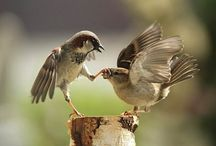 House Sparrows / by Avril Dudley
