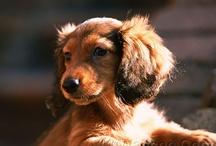 wiener dogs / by Sonu Singh