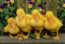 Baby Bunny Ducks & Lambs / Such cute adorable little animals.  / by Patricia Stautihar