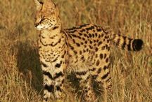 Serval / by stichting SPOTS
