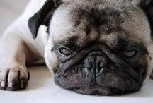 Buddy the Mischievous Pug / by Dan Perez