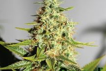 Featured Cannabis seeds / #SeedSupreme has one of the best sources for a large #International variety of a top shelf top quality cannabis seeds. Below is a selection of thousands of strains both common and rare of all types. Search and you will find the best auto-flowering, feminized and regular seeds from around the planet and handpicked for you.  / by Seed Supreme