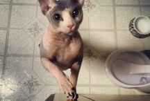 Sphynx cats / My next pet for sure! / by Akasha Vanzi