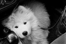 Samoyeds / by shannon moyer