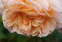 rose garden / by Lilly Lu