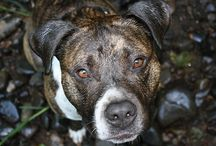 Pit Bulls Are Therapy Dogs / by Stubby Dog
