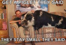 For the Love of Piggies / Potbellies and other pigs / by Louise & Mike