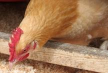 Chickens / by Kim Lea