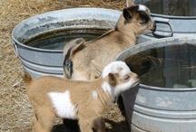 My husband wants a goat / by Kristin Williams