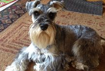 Schnauzers and all dogs we love / Dogs / by Teri Giese