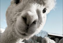 in the near future / Hubby and I have a dream to one day move on a small farm and raise alpacas, angora bunnies and maybe sheeps or goats for the yarn ♥ / by infinitekay