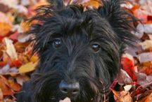 Scottie's... / If it's not a Scottie...It's just a Dog. / by Old Phuquer
