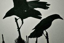 Animals-Birds-Ravens & Crows / Love my ravens! / by Ellary Branden
