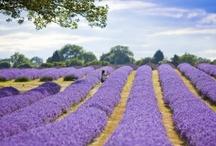 Lavender / by Iulia Marcu