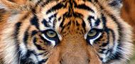 Pin It For Tigers / We've lost 3 species of Tigers in 60 years. The Bali tiger became extinct in the 1930's, the Caspian tiger in the 1970's, and the Javan tiger in the 1980's. Without change, we stand to lose all wild tigers in the next 5 years, let's do something about it!  / by Sarah Quest