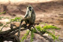all kinds of Monkey's / apen / by Henk vermeulen