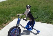 Boston Terriers / by Theresa Hillman