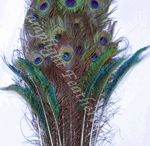 PEACOCK FEATHERS / by Lamplight Feather, Inc.