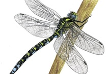Dragonflies / by Maree Mulreany