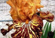 Irises 2 / by Joy