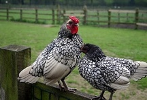 Chickens / by Avril Dudley