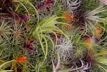 Air Plants / by Sustainable Seed Co.