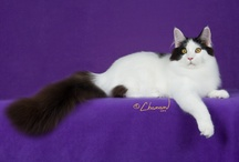 MAINE COON / by Cat Fanciers Association