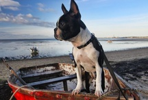 Boston Terrier Love / My fav breed: I have 3 :) / by Julie Cadden