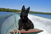 Scottish Terrier Love / by Ron Berger