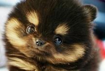 Pomeranians / by Sherry Koebrick