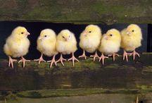 Homestead: Chickens / by Kristine Bannerman