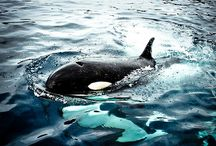 """Orca Love / Much love and respect for these regal creatures. Please watch """"Blackfish."""" / by Adrienne"""