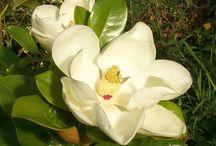 Magnolias / by Anita Crisp