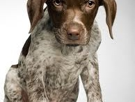 German Shorthaired Pointers / by Susan Gendron Huotari