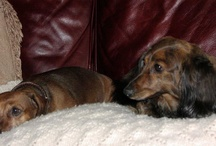 Dachshund Pets / by Sherry Griggs