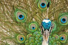Animals-Birds-Peacocks / by Ellary Branden