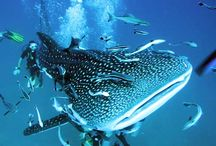 Activities - Koh Samui- Diving in Thailand / Diving in the warm Southern waters of a Thailand  Tickets for tours and activities available at Island Info, inside Ark Bar Beach Resort https://www.facebook.com/IslandInfoThailand / by Island Info Samui