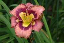A lily everyday! / by Cindy English