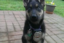 German Shepherds: Working / military-police-service / by Sonni Ann Gavin
