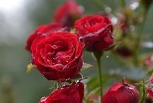 Roses / by Joann Hayek