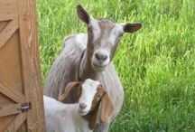 "Life with Goats / Goats have no upper front teeth. Female goats are called ""does"". Males are called ""bucks"". They don't eat tin cans. They are very intelligent! Once they have discovered a weakness in your fences, watch out! / by Patty Skoch Armstrong"